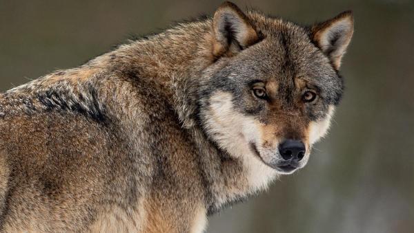 Lex Wolf im Kabinett: Jäger auf vier Pfoten