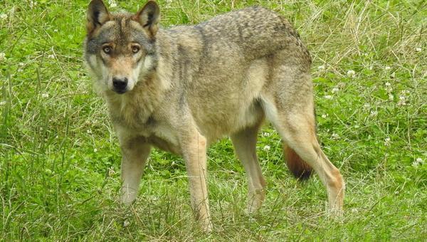 Wolf stammt aus Niedersachsen