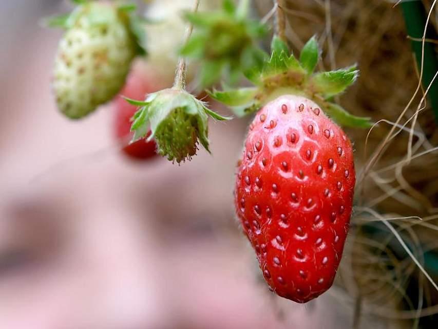 Erdbeeren wachsen rund sieben Wochen vor dem Weihnachtsfest an einer Erdbeerpflanze in einer Gartenanlage in Langenhagen. Das Wetter (nicht nur) in Niedersachsen ist weiterhin zu mild für die Jahreszeit. Foto: Holger Hollemann