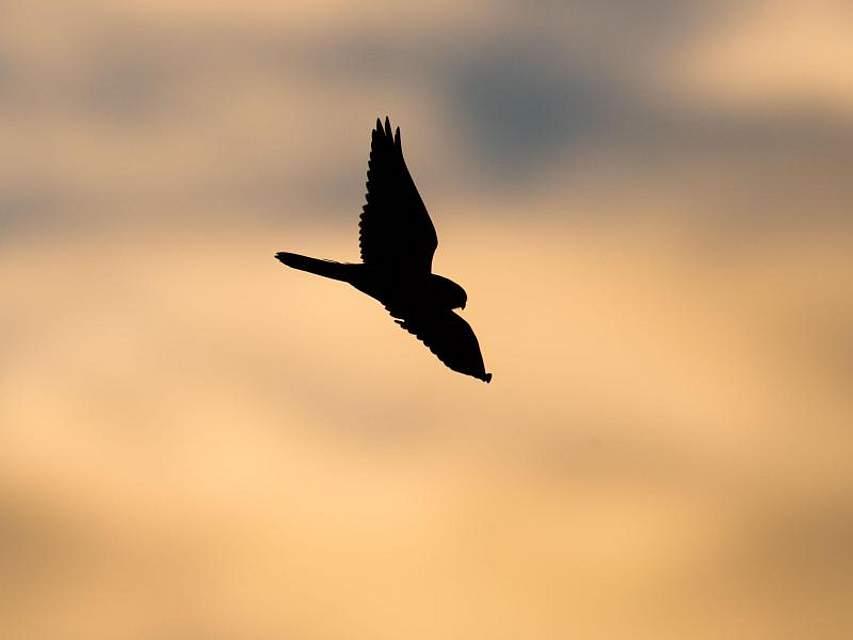 Ein Falke ist auf der Suche nach Beute. Foto: Julian Stratenschulte/dpa