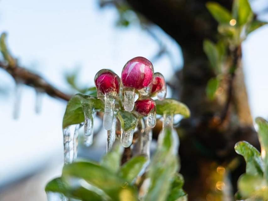 Im baden-württembergischen Renchen ist eine Apfelblüte mit Eis bedeckt. Zuvor wurde der Baum künstlich beregnet - der Eispanzer soll die empfindlichen Blüten vor Frost schützen. Foto: Benedikt Spether