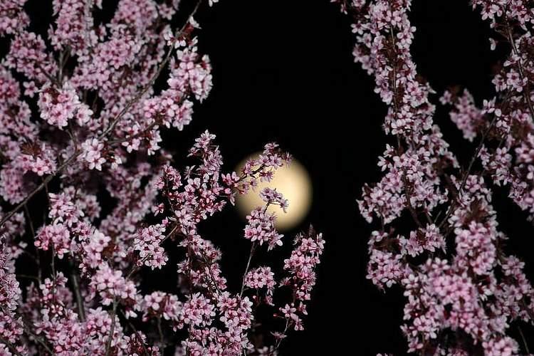 Prächtig präsentieren sich die blühenden Ziehkirschen. Nicht minder prächtig schimmert der Mond am Nachthimmel. Foto:Karl-Josef Hildenbrand