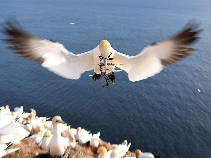 Ein Basstölpel setzt zur Landung an. Im Schnabel hat er Nistmaterial. Auf der Kolonie auf der Nordseeinsel Helgoland ist gerade Hochsaison. Foto: Carsten Rehder