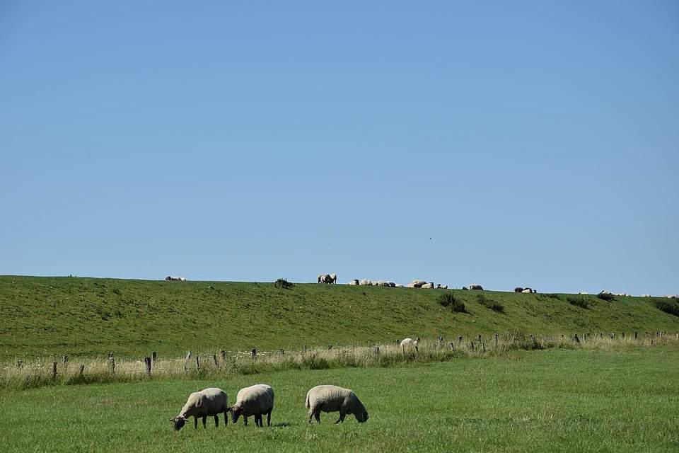 Die Radtour führt vorbei an Deichen und Schafen.