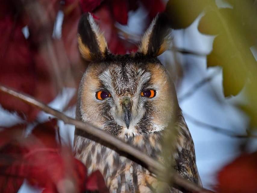 Eine Waldohreule (Asio otus) schaut von einem Baum im brandenburgischen Hackenow. Bei den Tieren ist der Oderbruch sehr beliebt; viele Tiere verbringen hier in Schlafgemeinschaften die Winterzeit. Foto: Patrick Pleul