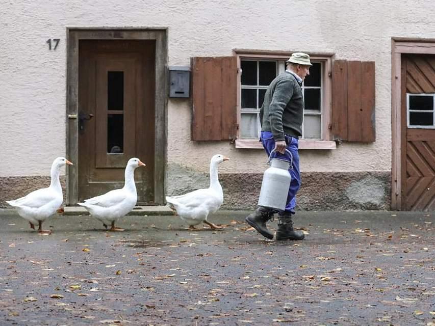 Ein Landwirt wird auf seinem Hof in Langenenslingen-Wilflingen von Gänsen «verfolgt». Foto: Thomas Warnack/dpa