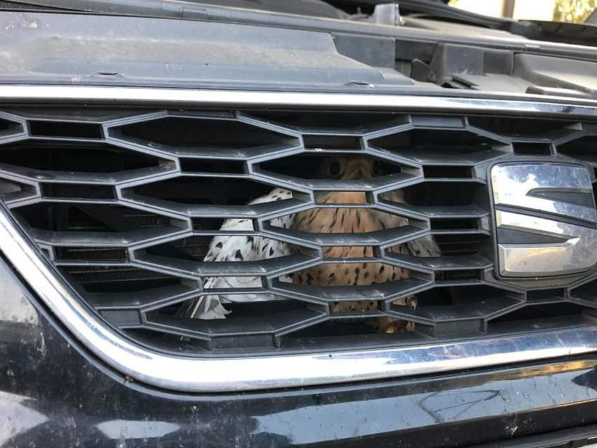Dumm gelaufen: Ein Falke hockt völlig desorientiert hinter dem Kühlergrill eines Autos, in dem er sich verfangen hatte. Ein Fachmann einer Greifvogelstation und ein Automechaniker befreiten das Tier. Foto: Polizeiinspektion Lichtenfels