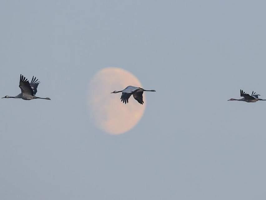 Kraniche über Brandenburg. Die Zugvögel sammeln sich derzeit auf den weiten Feldern in Ostbrandenburg für ihre Reise in die Überwinterungsgebiete im Süden. Foto: Patrick Pleul
