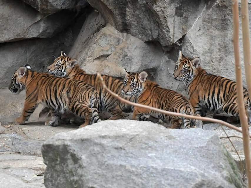 Die im August geborenen Sumatra-Tiger erkunden die Außenanlage am Alfred-Brehm-Haus im Berliner Tierpark. Foto: Paul Zinken