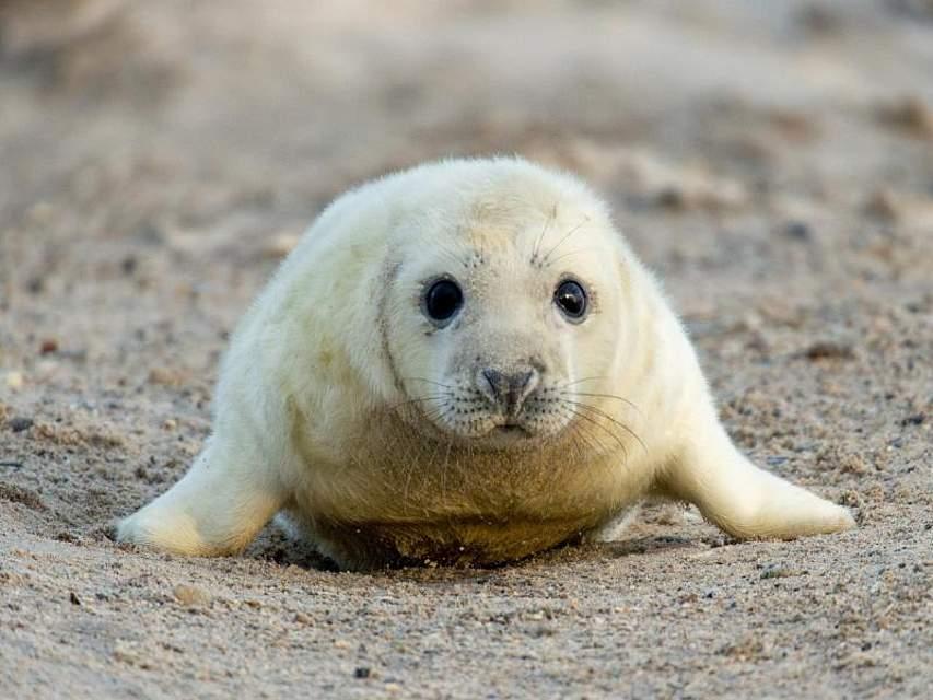 Auf Helgoland bevölkern derzeit hunderte junge Robben bevölkern die Düne. Ihre Hauptaufgabe: Sich Speck anfuttern. Foto: Oliver Willikonsky/dpa