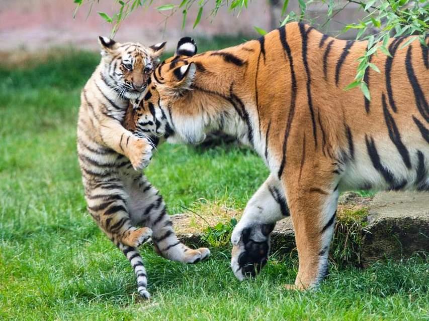 Tiger-Mama Alexa und ihr noch namenloses Junges spielen in ihrem Gehege im Zoo Hannover. Foto: Christophe Gateau