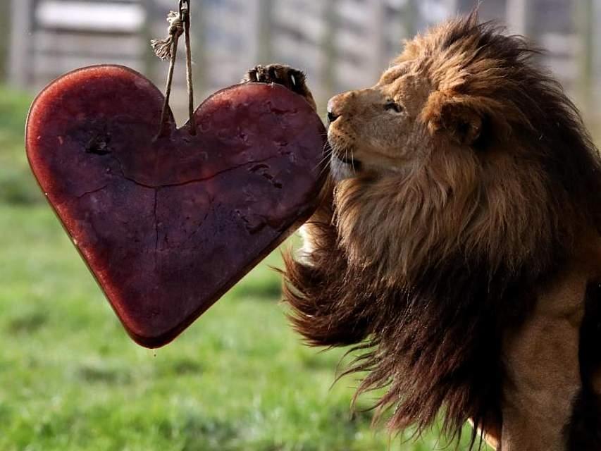 Ein gefrorenes Valentinstagsherz aus Blut und Fleisch erhält Löwe Zulu im Blair Drummond Safari-Park. Foto:Andrew Milligan, PA Wire