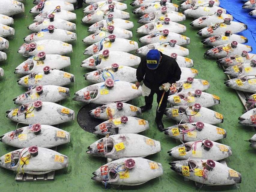 Ein potenzieller Käufer betrachtet auf dem neuen Tokioter Fischmarkt am Standort Toyosu gefrorene Thunfische. Nach der Schließung des berühmten Tsukiji-Marktes hat die japanische Hauptstadt nun einen neuen modernen Großmarkt für Meerestiere aller Art. Foto: Eugene Hoshiko/AP