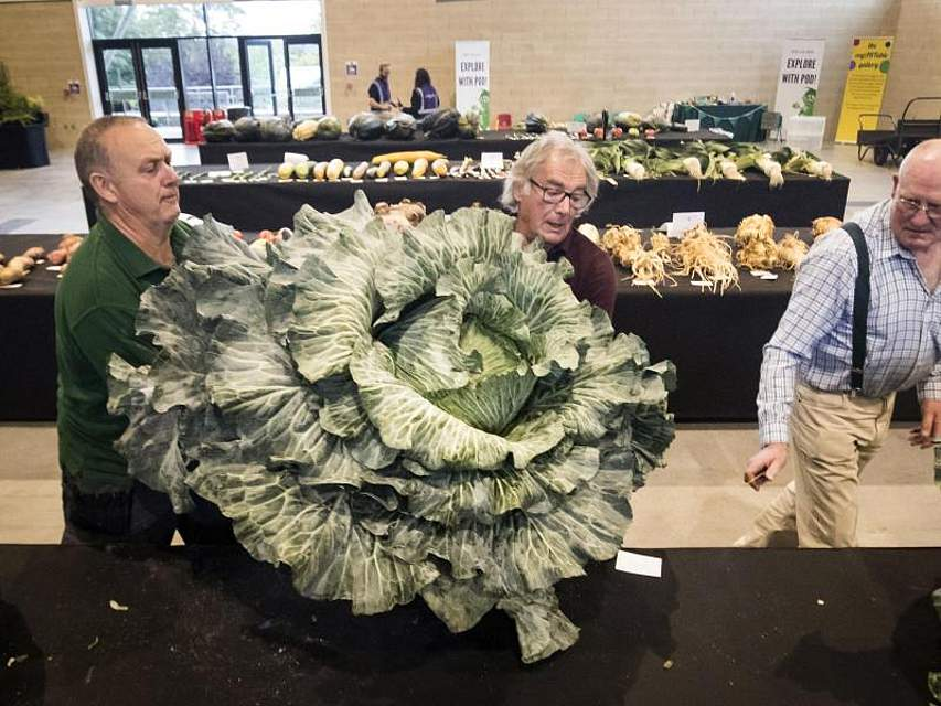 Ein riesiger Kohlkopf ist bei den britischen National Vegetable Society UK Championships zu sehen. Foto: Danny Lawson/PA Wire