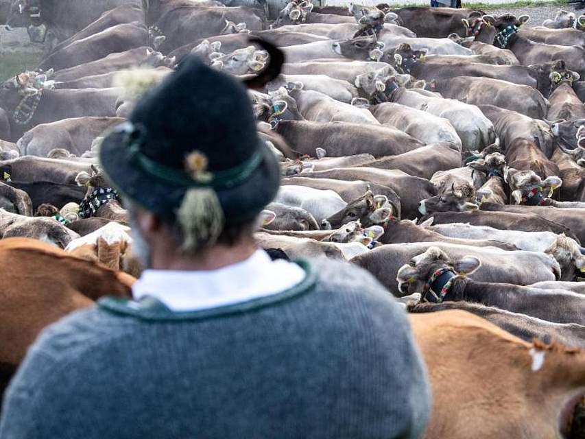 Kühe drängen sich vor einem Viehtreiber in traditioneller Kleidung. Beim Viehscheid von Bad Hindelang werden etwa 700 Kühe von den Bergweiden zurück ins Tal getrieben. Foto: Lino Mirgeler