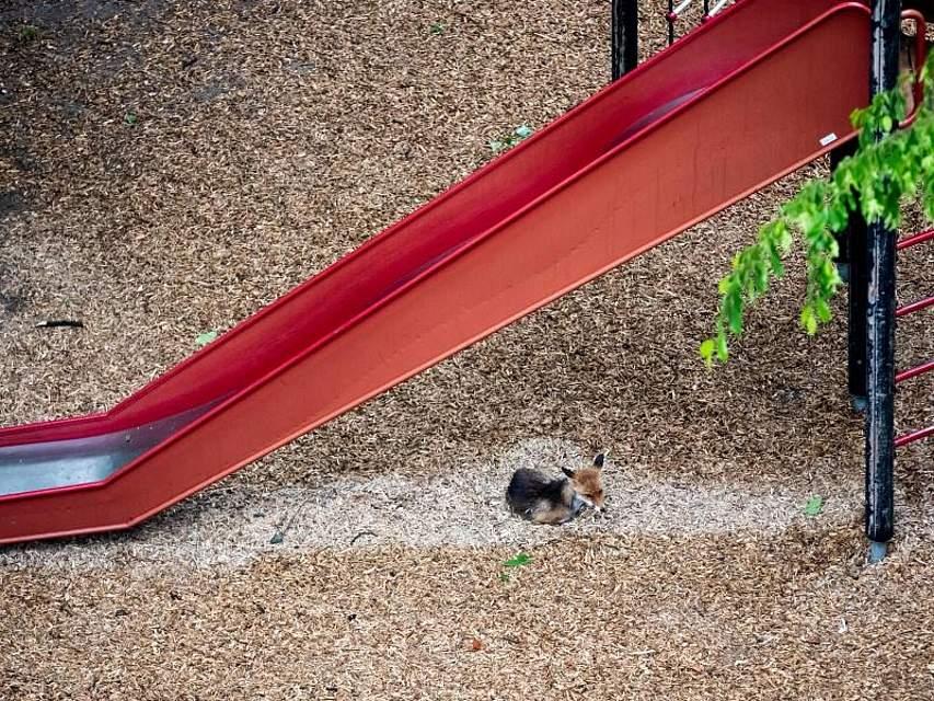 Ein Fuchs hat sich auf einem Spielplatz unter einer Rutsche vor dem Regen in Sicherheit gebracht. Foto: Christoph Soeder