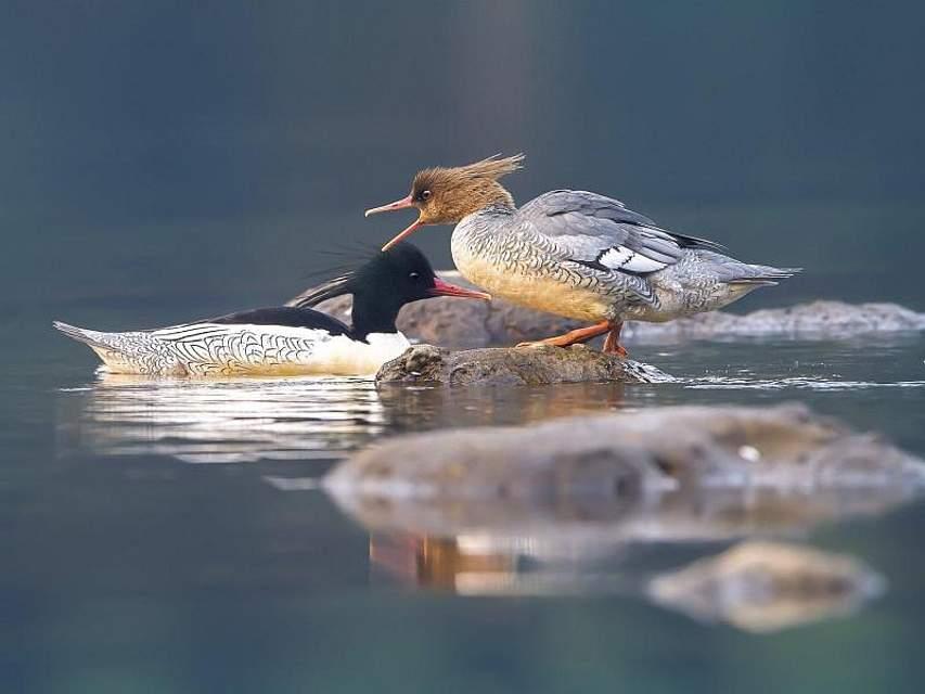 Zwei Schuppensäger (Mergus squamatus) sind auf dem Fluss Qijiang im südwestchinesischen Chongqing zu sehen. Foto: Qu Mingbin/SIPA Asia via ZUMA Wire