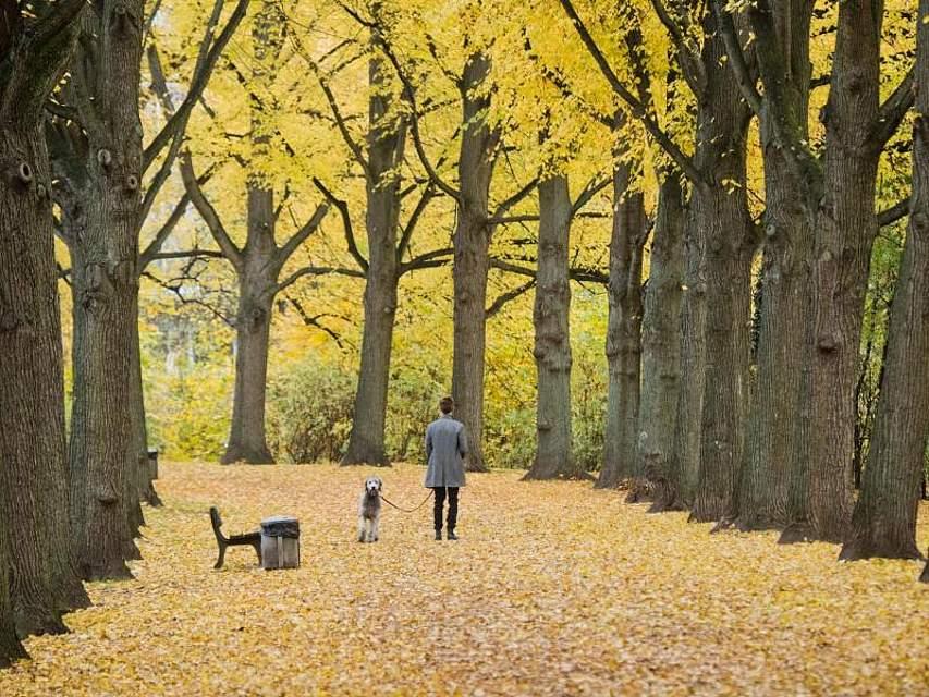 Herrchen und Hund spazieren durch eine herbstlich verfärbte Allee. Foto: Julian Stratenschulte