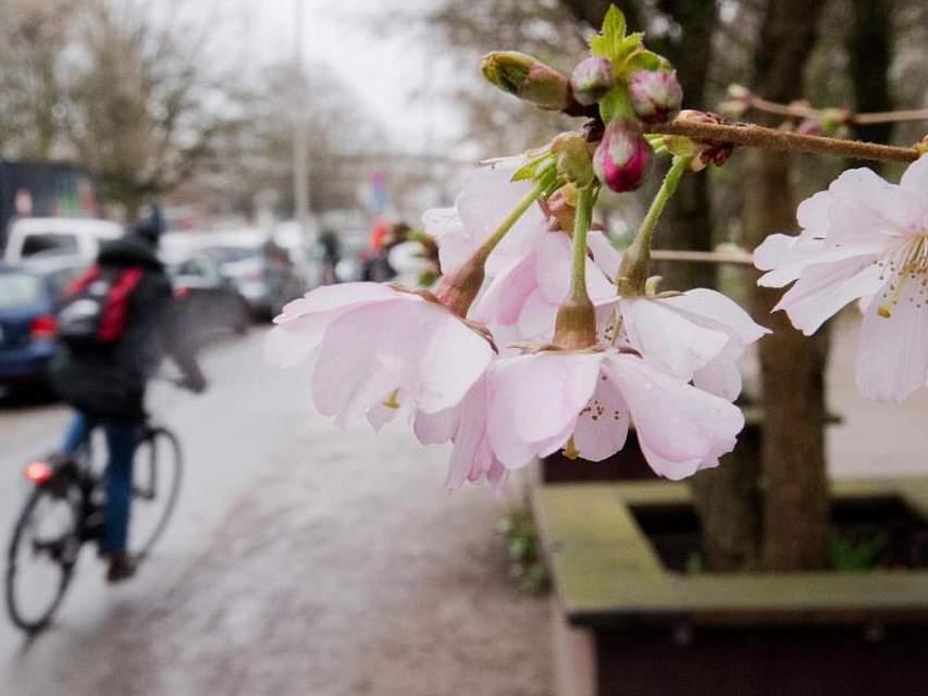 In Hannover blüht bereits ein Kirschbaum. Foto: Julian Stratenschulte
