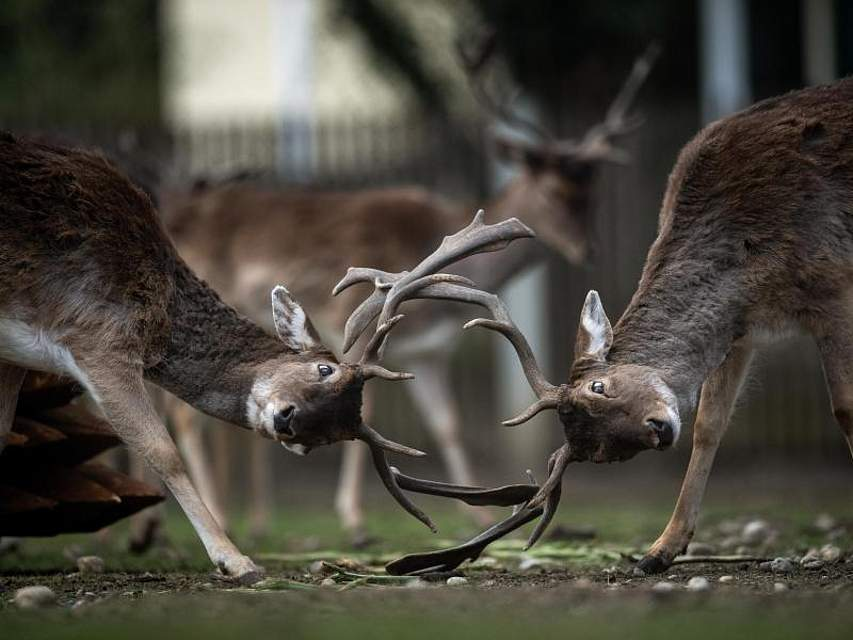 Komm doch! Zwei Hirsche messen in einem Gehege des Münchener Hirschparks ihre Kräfte. Foto: Sina Schuldt
