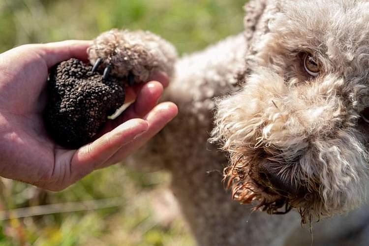 Trüffelhund Woopee hält die Pfote an einen Trüffel auf einer Plantage bei Alfeld in Niedersachsen. Foto: PeterSteffen