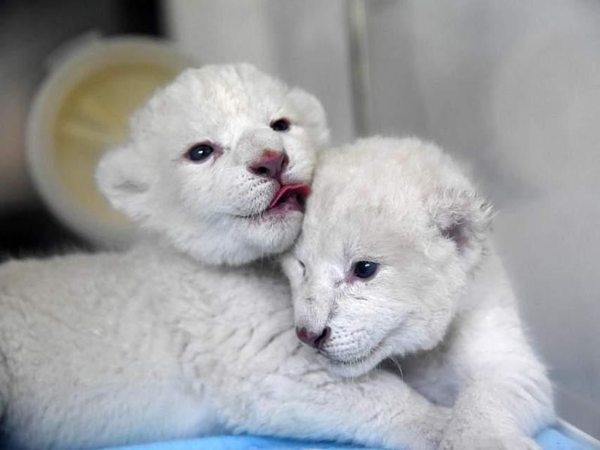 Zwei neugeborene, weiße Löwenjungtiere kuscheln sich im Wildpark «Wild World Jinan» im Nordosten Chinas aneinander. Die Löwenmutter brachte die Geschwister am 2. Oktober 2019 zur Welt. Foto: Wang Kai/XinHua/dpa