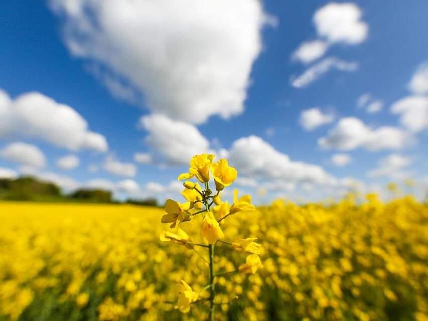 Ein Rapsfeld blüht in schönstem Gelb. Foto: Thomas Warnack