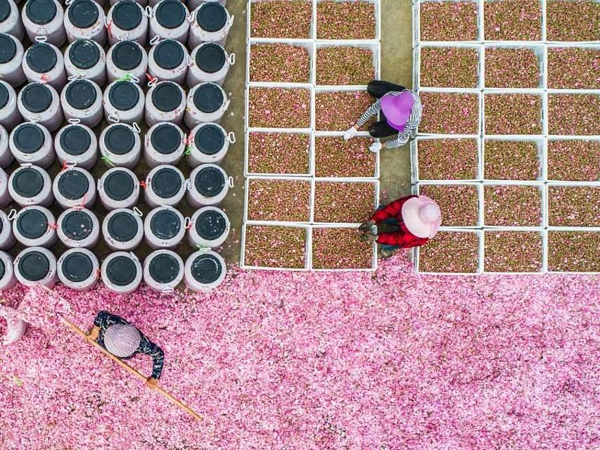 Rosarote Ernte: Landwirte pflücken Rosenblüten in Suqian, Jiangsu. Foto: Tpg/TPG via ZUMA Press