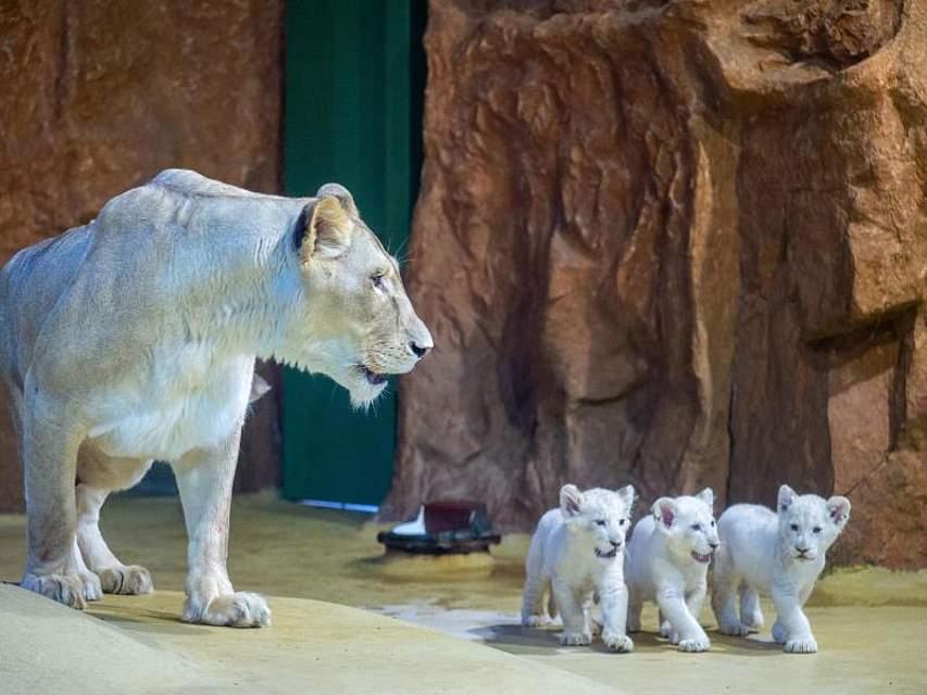 Mutter Kiara mit ihrem Nachwuchs. Die drei weißen Löwenbabys sind am 19. November 2019 im Zoo Magdeburg geboren worden. Foto: Klaus-Dietmar Gabbert/dpa-Zentralbild/dpa
