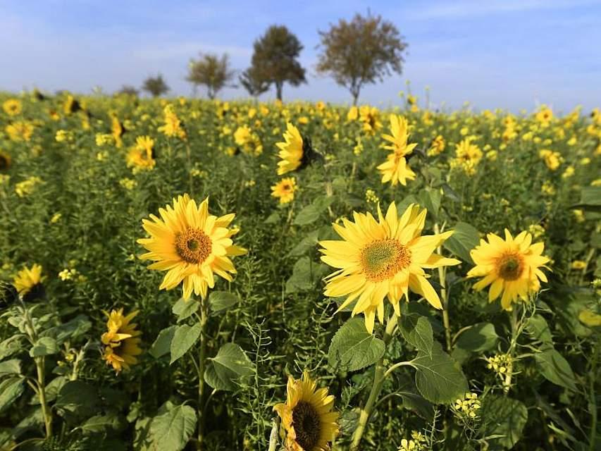 Sonnenblumen blühen noch auf einem Feld im burgenländischen Baumgarten. Foto: Robert Jaeger/APA