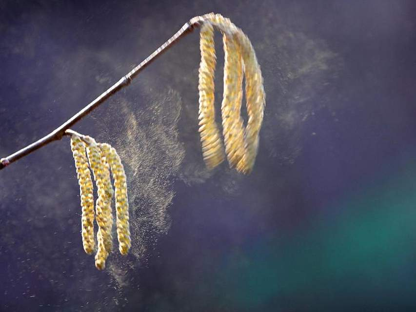 Bei Temperaturen um 12 Grad Celsius sind bereits erste Pollen der Haselnuss unterwegs. Foto: Wolfgang Kumm/dpa