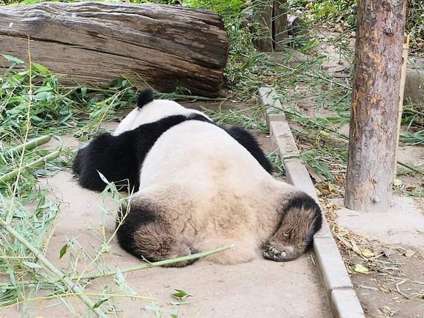 Ein Pandabär macht in seinem Gehege in Peking ein Nickerchen. Foto: TPG via ZUMA Press