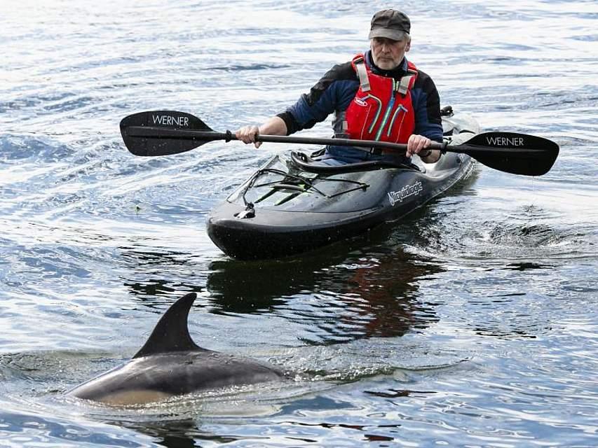 Seit mehreren Wochen taucht immer wieder ein etwas zwei Meter großer Gemeiner Delfin in der Kieler Förde auf. Ein Paddler nähert sich dem Delfin. Foto: Frank Molter