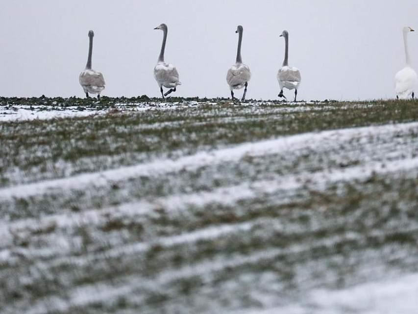 Mehrere Singschwäne stehen auf einer verschneiten Wiese. Foto: Thomas Warnack