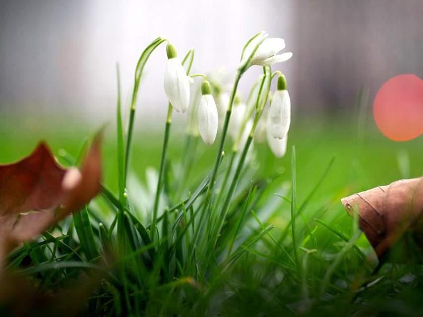 Schneeglöckchen blühen schon in einem Park in Düsseldorf. Foto: Martin Gerten/dpa